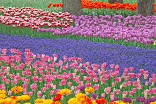 チューリップの花畑とムスカリの写真素材 [FYI03000848]