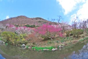湯河原梅林の梅の花と池の写真素材 [FYI03000849]