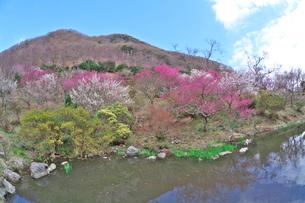 湯河原梅林の梅の花と池の写真素材 [FYI03000850]