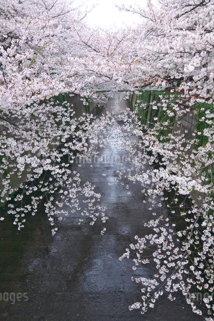 目黒川の桜の写真素材 [FYI03000888]