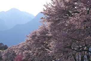 真原の桜並木と甲斐駒ヶ岳の写真素材 [FYI03000890]