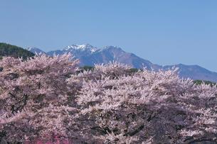 真原の桜並木と八ヶ岳連峰の写真素材 [FYI03000891]