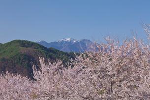 真原の桜並木と八ヶ岳連峰の写真素材 [FYI03000893]