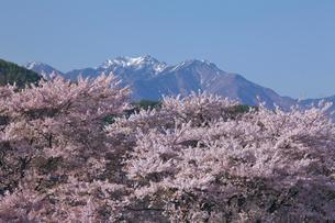 真原の桜並木と八ヶ岳連峰の写真素材 [FYI03000895]