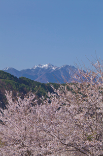 真原の桜並木と八ヶ岳連峰の写真素材 [FYI03000897]
