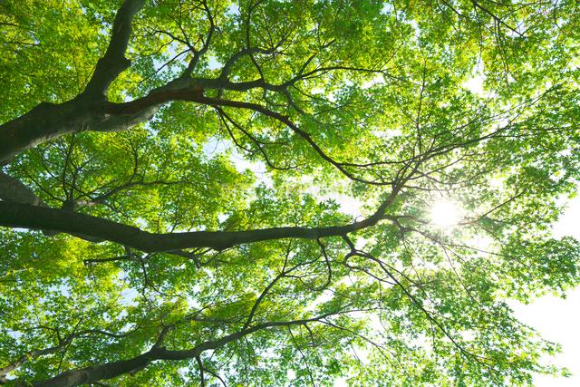 モミジの若葉と木漏れ日の写真素材 [FYI03000917]