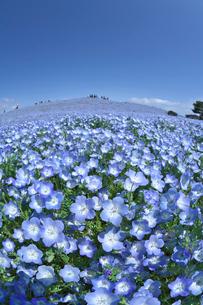 ネモフィラの花畑の写真素材 [FYI03000948]