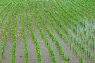 田植え後の整列した稲の水田の写真素材 [FYI03001055]