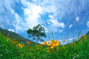 ニッコウキスゲ咲く高原と雲間の太陽と白樺の一本の木の写真素材 [FYI03001207]