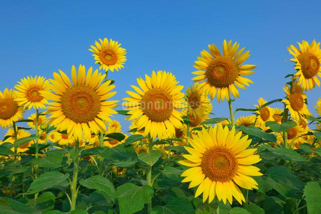ヒマワリの花畑の写真素材 [FYI03001242]