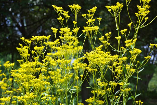 オミナエシの花の写真素材 [FYI03001322]
