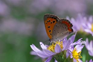 シジミ蝶とシオンの花の写真素材 [FYI03001335]