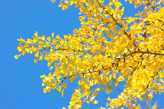 イチョウの黄葉の写真素材 [FYI03001340]