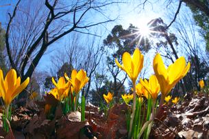 クロッカスの花と太陽の写真素材 [FYI03001455]