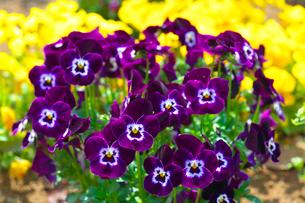パンジーの花の写真素材 [FYI03001462]