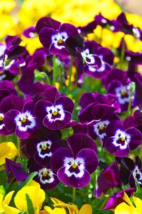 パンジーの花の写真素材 [FYI03001464]