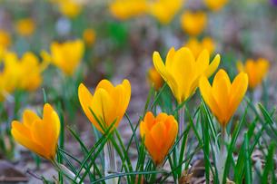 黄色いクロッカスの花の写真素材 [FYI03001472]
