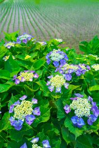 アジサイの花と田んぼの写真素材 [FYI03001490]