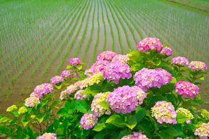 アジサイの花と田んぼの写真素材 [FYI03001491]