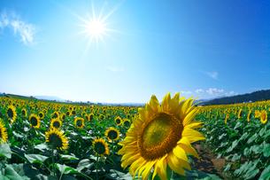 ヒマワリの花と太陽の写真素材 [FYI03001494]