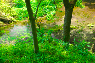 柿田川の湧水と新緑の写真素材 [FYI03001495]