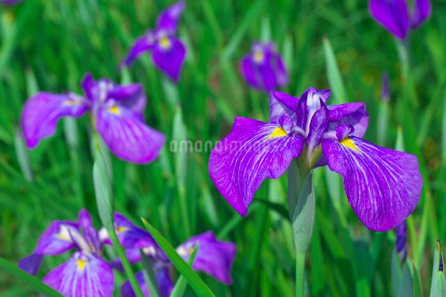 ハナショウブの花の写真素材 [FYI03001501]