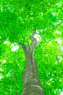 新緑のブナの木の写真素材 [FYI03001503]