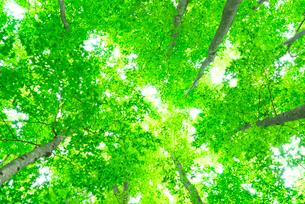 新緑のブナの林の写真素材 [FYI03001507]