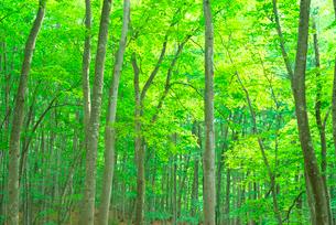 新緑のブナの林の写真素材 [FYI03001508]
