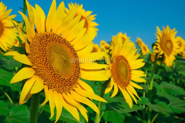 ヒマワリの花畑の写真素材 [FYI03001530]