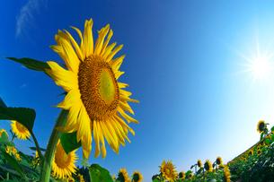 ヒマワリの花と太陽の写真素材 [FYI03001537]