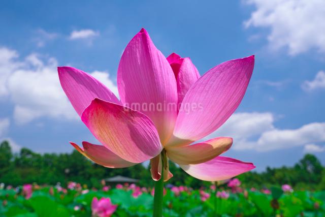 ハスの花と青空の写真素材 [FYI03001549]
