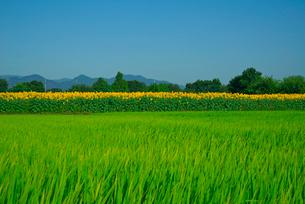 ヒマワリの花畑と田んぼの写真素材 [FYI03001551]