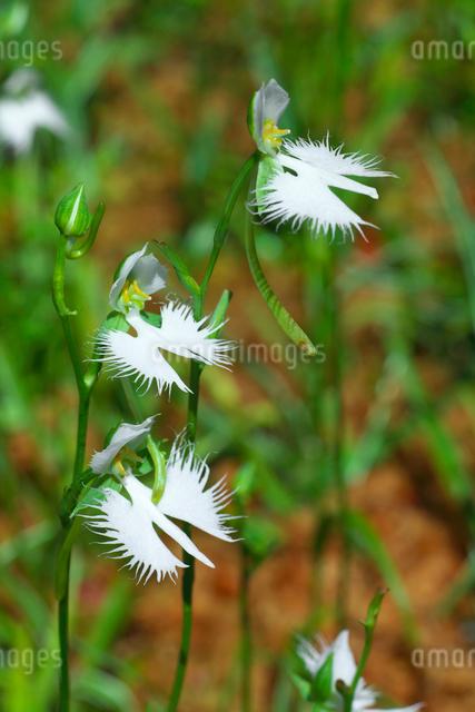 サギソウの花の写真素材 [FYI03001555]