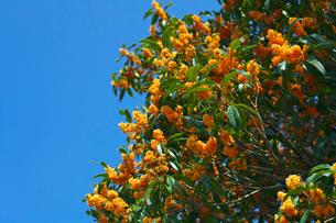 キンモクセイの花の写真素材 [FYI03001610]