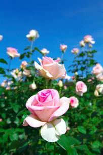ピンクのバラの花の写真素材 [FYI03001611]
