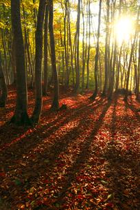 ブナ林の紅葉と落ち葉の写真素材 [FYI03001661]