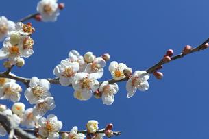白い梅の花の写真素材 [FYI03001667]