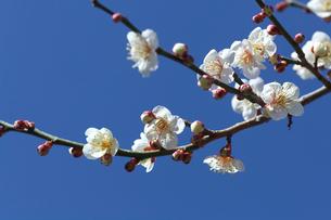 白い梅の花の写真素材 [FYI03001668]