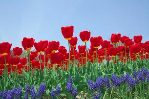 赤いチューリップの花とムスカリの写真素材 [FYI03001741]