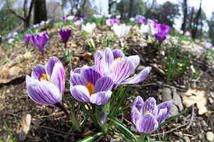 クロッカスの花の写真素材 [FYI03001743]