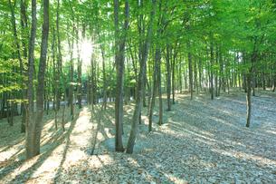 新緑と残雪のブナ林と木漏れ日の写真素材 [FYI03001744]