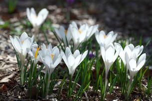 クロッカスの花の写真素材 [FYI03001756]