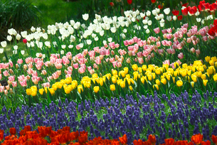 チューリップの花とムスカリの写真素材 [FYI03001774]