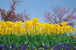 黄色いチューリップの花とムスカリの写真素材 [FYI03001777]