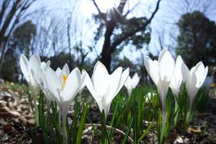 クロッカスの花と太陽の写真素材 [FYI03001779]