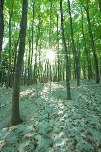 新緑と残雪のブナ林と木漏れ日の写真素材 [FYI03001780]