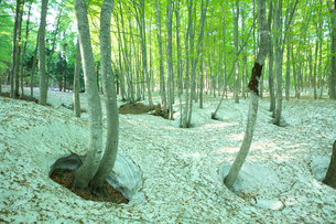 新緑と残雪のブナ林の写真素材 [FYI03001782]