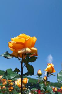 オレンジのバラの花の写真素材 [FYI03001806]