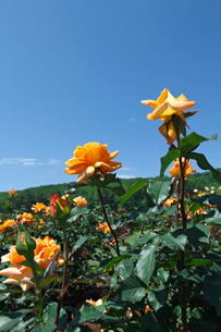 オレンジのバラの花の写真素材 [FYI03001808]